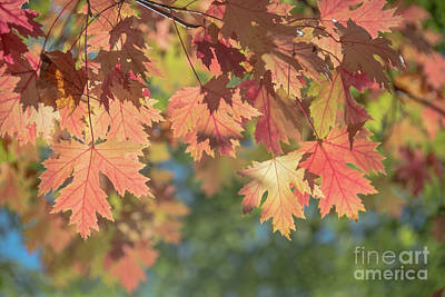 Photograph - Pale Rose Maple Leaves by Cheryl Baxter