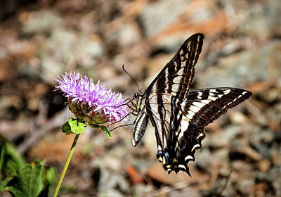 Photograph - Pale Swallowtail by Betty Depee