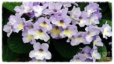 Photograph - Pale Violet Violas by Joan-Violet Stretch