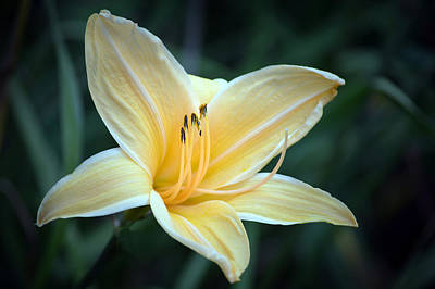 Lilies Royalty-Free and Rights-Managed Images - Pale Yellow Day Lily by Terence Davis