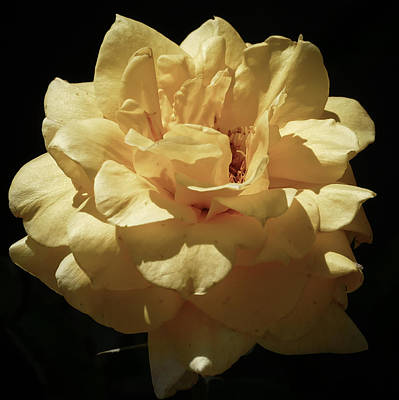 Photograph - Pale Yellow by Laurel Powell