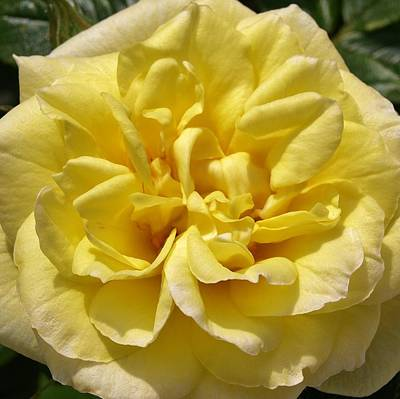 Photograph - Pale Yellow Rose by Richard Brookes