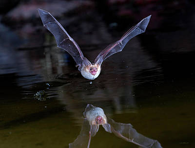 Pallid Bat On Pond Art Print