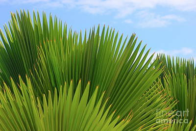 Photograph - Palm Fans by The Art of Alice Terrill