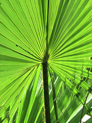Photograph - Palm Frond by Bonnie Muir