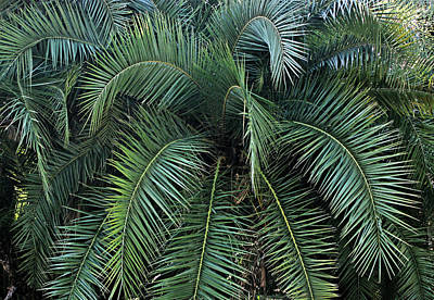 Photograph - Palm Fronds by Kristin Elmquist