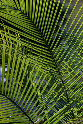 Photograph - Palm Fronds by Ron Grafe