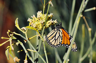 Art Print featuring the photograph Palm Springs Monarch by Kyle Hanson