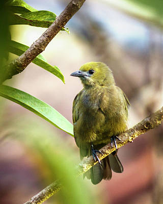 Photograph - Palm Tanager La Macarena Colombia by Adam Rainoff