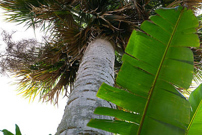 Photograph - Palm Tree And Banana Leaf by Daniel Jean-Baptiste