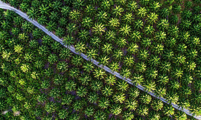 Photograph - Palm Tree Plantation Pattern From Above  by Pradeep Raja PRINTS