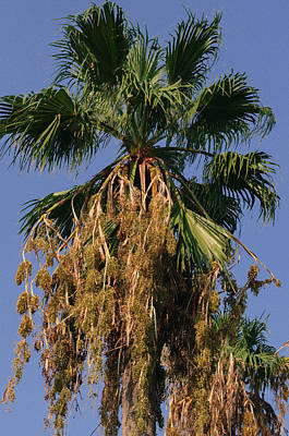Photograph - Palm Tree by Tikvah's Hope