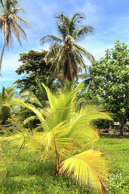 Photograph - Palm Trees At Star Beach In Bocas Del Toro by John Rizzuto