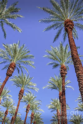 Photograph - Palm Trees In Rows Looking Up by David Zanzinger