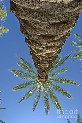 Photograph - Palm Trees Looking Up 4 by David Zanzinger