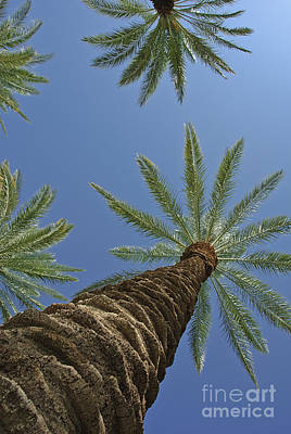 Photograph - Palm Trees Looking Up 8 by David Zanzinger