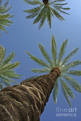 Photograph - Palm Trees Looking Up 8 by David Zanzinger