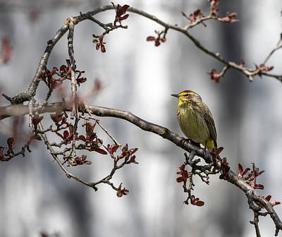Photograph - Palm Warbler 2018-1 by Thomas Young