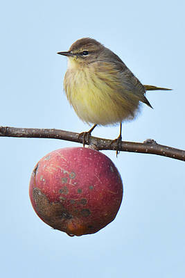 Photograph - Palm Warbler Apple Of Your Eye by Alan Lenk