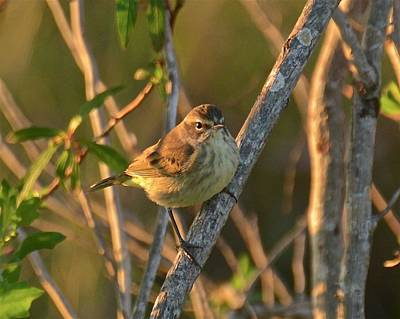 Photograph - Palm Warbler At Sunset by Carol Bradley