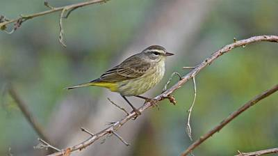 Photograph - Palm Warbler by Carol Bradley