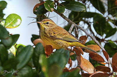 Photograph - Palm Warbler by David A Lane