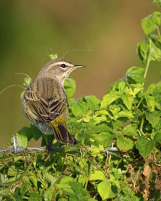 Photograph - Palm Warbler I by Dawn Currie