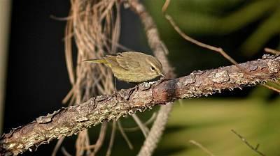 Photograph - Palm Warbler II by Carol Bradley