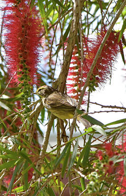 Photograph - Palm Warbler In Bottlebrush by William Tasker
