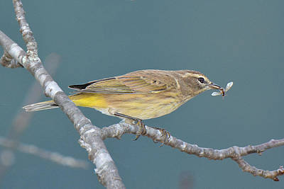 Photograph - Palm Warbler Lunch by Alan Lenk