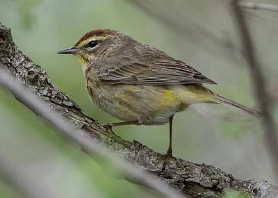 Photograph - Palm Warbler by Wade Aiken