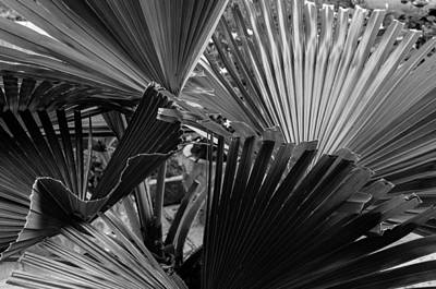 Photograph - Palmetto In Black And White by Michael Raiman
