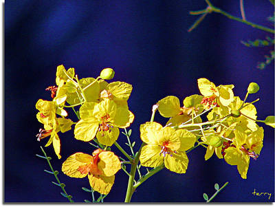 Photograph - Palo Verde Blooms by Terry Temple