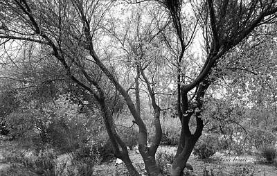 Photograph - Palo Verde No5 by Kume Bryant