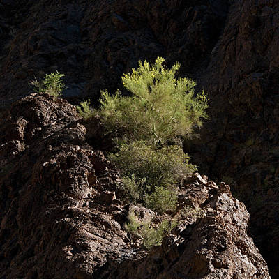 Photograph - Palo Verde Spotlight-sq by Tom Daniel
