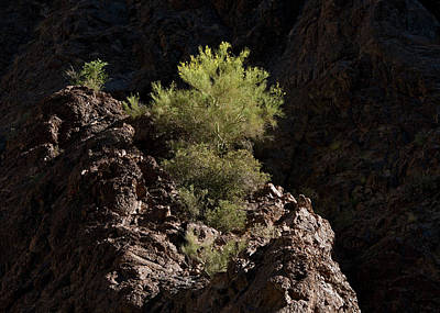 Photograph - Palo Verde Spotlight by Tom Daniel