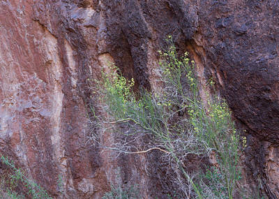 Photograph - Palo Verde Wall by Tom Daniel