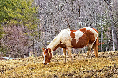Ira Marcus Royalty-Free and Rights-Managed Images - Pinto Grazing in Winter by Ira Marcus