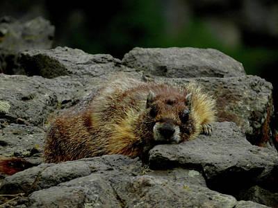 Photograph - Palouse Marmot Siesta by Jacqueline  DiAnne Wasson