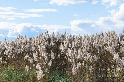 Pampus Photograph - Pampas Grass by Steven Natanson