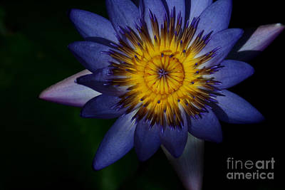 Photograph - Panama Pacific Water Lily by Sharon Mau