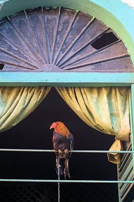 Photograph - Panama Roaster 1 by Douglas Pike