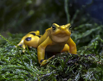 Photograph - Panamanian Golden Frog by William Bitman