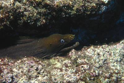 Panamic Green Eel Hides In Reef Art Print by James Forte