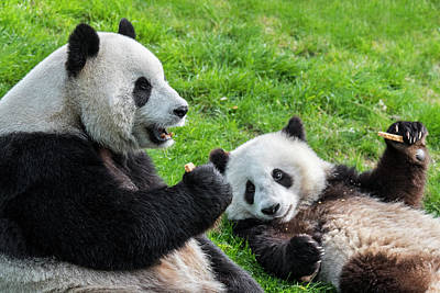 Photograph - Panda Bear With Cub by Arterra Picture Library
