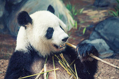 Photograph - Panda Dining by Karol Livote