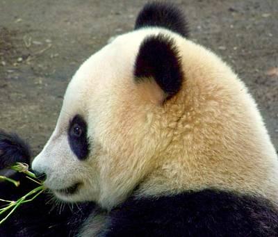 Panda Snack Art Print by Karen Wiles