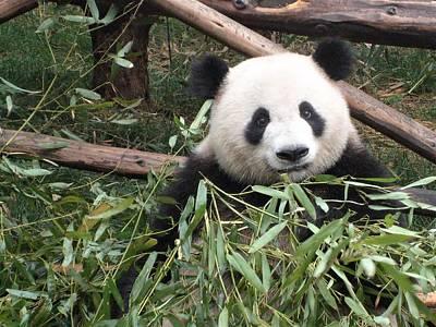 Panda Staring Back Art Print
