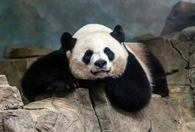 Photograph - Panda by William Bitman