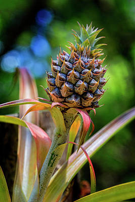 Photograph - Pandanus Fruit by Kelley King